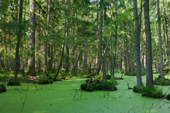 Natural stand of Bialowieza Forest with standing water and Duckweed. Natural alder-carr stand of Bialowieza Forest with standing water and Common Duckweed on Stock Images