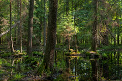 Natural stand of Bialowieza Forest with standing water. In morning sunny Stock Photo
