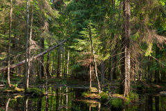 Natural stand of Bialowieza Forest with standing water. In in summer morning sunrise,Bialowieza Forest,Poland,Europe Stock Image