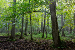 Natural stand of Bialowieza in morning mist Royalty Free Stock Photography