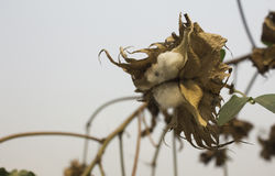 Natural stem of cotton flowers producing raw cotton for textile industry.  royalty free stock photography