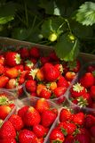 Natural strawberries. Prepared for sale Stock Photo