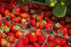 Natural strawberries. Prepared for sale Royalty Free Stock Photo