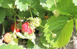 Natural strawberry bush growing in a sunny garden Stock Photo