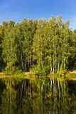 Natural summer background with birch trees in sunny day. Royalty Free Stock Photo