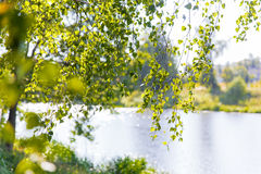 Natural summer background - bright green birch leaves. Stock Photos