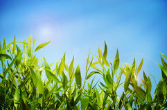 Natural summer background with green lush grass and blue sky Royalty Free Stock Photos