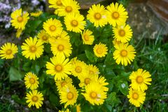 Natural summer background with yellow flowers stock image