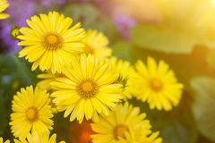 Natural summer background with yellow flowers royalty free stock photo