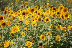 Natural Sunflower Field Stock Photography