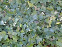 Natural sunny ivy wall background royalty free stock photo
