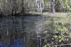Natural swamp pond Stock Photography