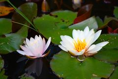 Swamp. Natural swamp with water lillies and frogs stock images