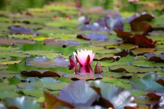 Swamp. Natural swamp with water lillies and frogs royalty free stock image