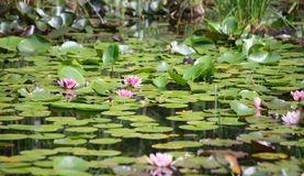 Swamp. Natural swamp with water lillies and frogs royalty free stock photography