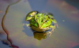 Swamp. Natural swamp with water lillies and frogs stock photos