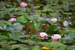 Swamp. Natural swamp with water lillies and frogs stock photo