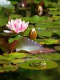 Swamp. Natural swamp with water lillies and frogs royalty free stock photo