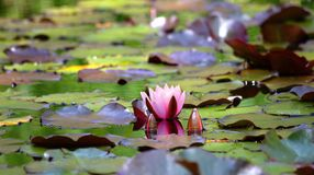 Swamp. Natural swamp with water lillies and frogs royalty free stock images