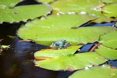 Swamp. Natural swamp with water lillies and frogs stock photography