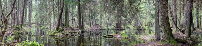 Natural swampy forest panorama Royalty Free Stock Photo