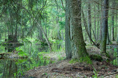 Natural swampy forest at springtime. Europe,poland,bialowieza forest stock photo