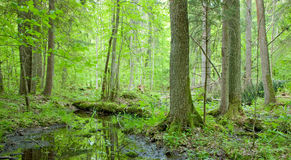Natural swampy forest at springtime. With old alder tree in foreground stock photo