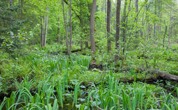 Natural swampy forest at springtime. With Sweet Flag marshland plant Royalty Free Stock Image