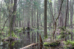Natural swampy forest at springtime Royalty Free Stock Photography
