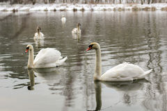 Natural Swan on a lake - snowing winter Stock Images