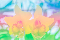 Natural sweet color orchid in soft color and blur style, Cattley Stock Images