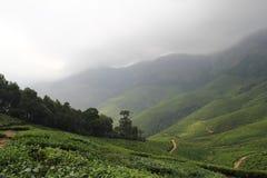 Natural Tea leaf farming Royalty Free Stock Image