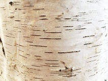 Natural texture of bark birch tree Royalty Free Stock Photography