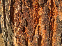 Natural texture of bark of a pine Stock Image