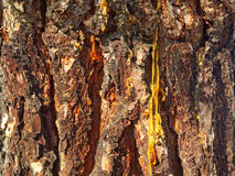 Natural texture of bark of a pine Royalty Free Stock Photos