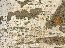 Natural texture of bark of a poplar Stock Photography