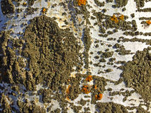 Natural texture of bark of a poplar Royalty Free Stock Photos