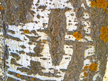 Natural texture of bark of a poplar Royalty Free Stock Photography