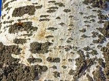Natural texture of bark of a poplar Stock Photos