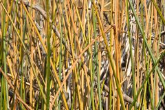 Natural texture. Bulrush stems Royalty Free Stock Images