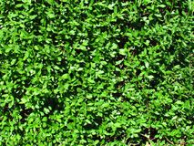 Natural texture composed of vivid green leaves, photo close-up. Gardening background royalty free stock photography