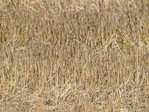 Natural texture of dry straw. On autumn royalty free stock photography