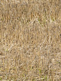 Natural texture of dry straw. On autumn stock photos