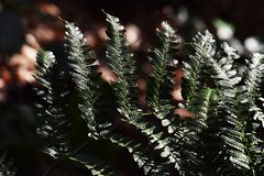 Fern leaves. Natural texture of fern leaves Royalty Free Stock Images