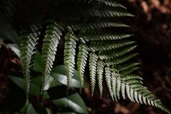 Fern leaves. Natural texture of fern leaves Royalty Free Stock Photos