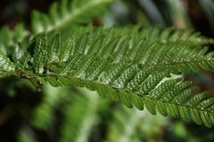 Fern leaves. Natural texture of fern leaves Stock Photography
