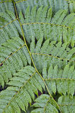 Natural texture formed by leaf tree fern Royalty Free Stock Photography