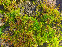 Natural texture of green moss Royalty Free Stock Photos