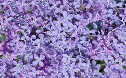 Natural texture of lilac flowers background. Color purple royalty free stock photo