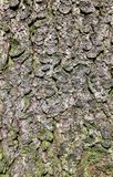 Natural texture of pine bark Stock Image